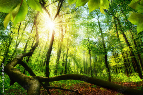 Green beech forest with bright beautiful sun beams, framed by foreground foliage and a fallen tree trunk