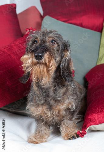 Bassotto sul divano buy photos ap images detailview - Sesso sfrenato sul divano ...
