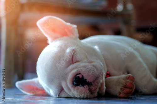 Poster Franse bulldog Young french bulldog white sleeping on the floor.