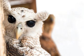 Portrait of Owls with black big eyes.