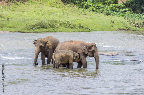 Poster elephants in the river Maha Oya at pinnawala