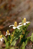 White flower on Yerba mansa plant, Anemopsis californica - 149750433
