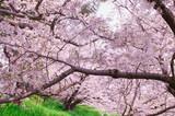 Sakura tree in the park.Japan