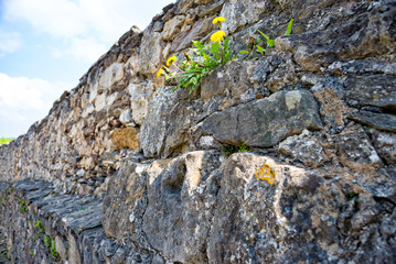 Dandelion grows on the castle wall