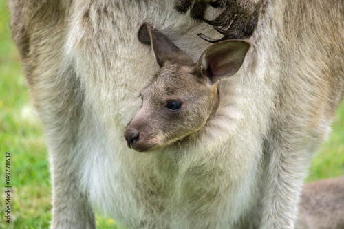 Fotobehang Kangoeroe Australian western grey kangaroo with baby in pouch, Tasmania, Australia
