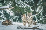 Wölfe im Winterwald