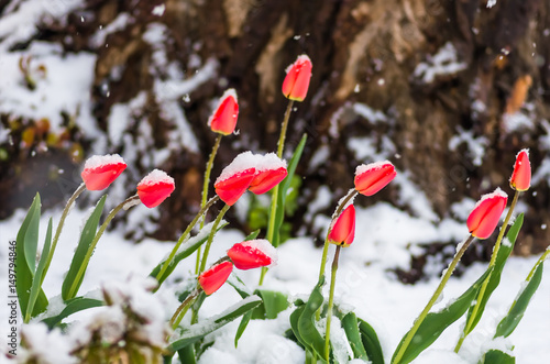 red tulip flowers in spring covered cold snow