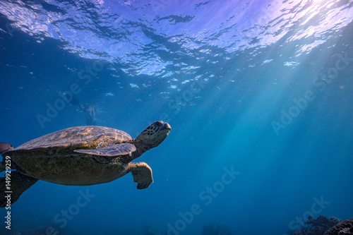Turle in underwater environment with fish and blue world at background discovere Poster