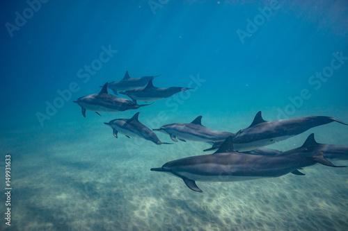Fotobehang Dolfijn Wild dolphins underwater in deep blue ocean