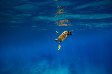 A turtle in blue ocean