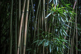 Bamboo forest green nature