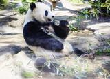 Большая панда или белая панда или бамбуковый медведь