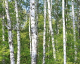 Beautiful landscape with young juicy birches with green leaves and with black and white birch trunks in sunlight in the morning in spring