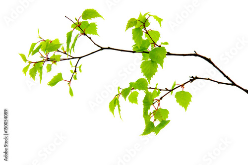 Birch leaves isolated on the white background. - 150054089