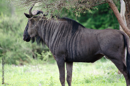 Poster Wildebeest