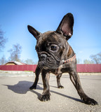French bulldog. Funny dog
