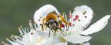 A bee on an apple tree