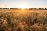 Barley Farm Field at Golden Sunset or Sunrise - 150181630