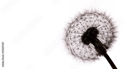 Fototapeta Close-up of dandelion seeds on white background.