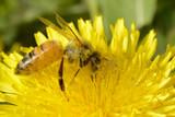 Pszczoła w mleczu
