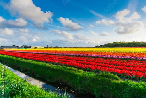 Fotobehang Tulpen Tulips field