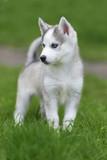 Cute little husky puppy - 150224284