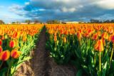 Amazing tulips field