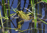 Frog in the water between reeds and other water plants in the river in vivo development