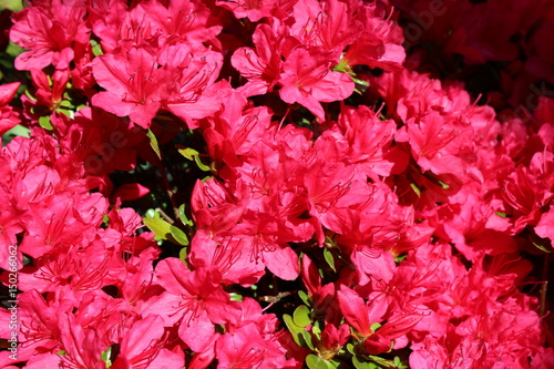 Fotobehang Azalea Red azalea blooms in spring sunshine