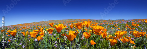 Wild California Poppies at Antelope Valley California Poppy Reserve