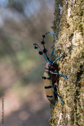 Longhorn beetles in nature. Poster