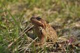 Лягушка в траве крупным планом