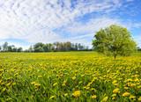 Flowering dandelion flowers on a spring meadow
