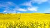 Panorama of blooming field, yellow rape