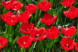 The red tulip field