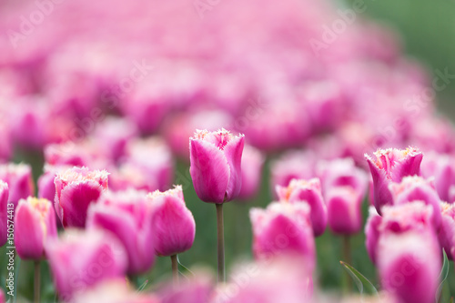 Aluminium Candy roze Blooming tulips from close