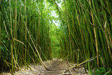 Path through a tall bamboo forrest on the Road to Hana on Maui, Hawaii