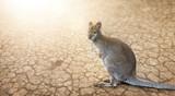 Wallaby (Känguru) in der Wüste