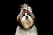 Portrait of Groomed Shih tzu Dog on Isolated Black Background