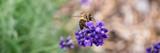 Biene auf einem Lavendelzweig - 150685224