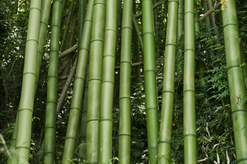 Lush green bamboo background © enjoynz