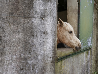 White horse head looking out of stable window.