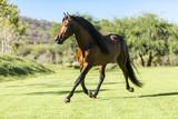 Thoroughbred wild horse - 150706876