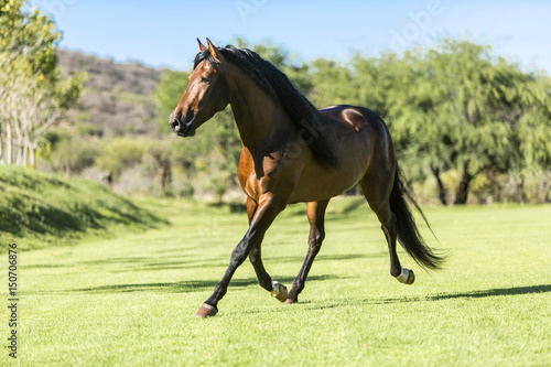 Thoroughbred wild horse Poster