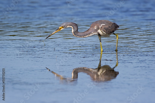 Tricolored Heron ( Egretta tricolor) preparing to strike while fishing at Fort Desoto Park near St Poster