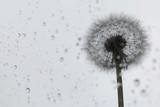 dandelion seeds on rain drop