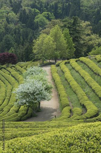 Beautiful and Blue Boseong Green Tea Field