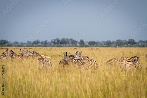 Fotobehang Overige Two Zebras bonding in Chobe.