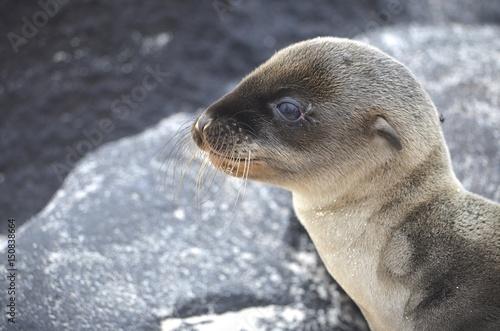 A baby Galapagos Sea lion, on the beach at Suarez Point, Isla Espanola, Galapagos Islands Poster
