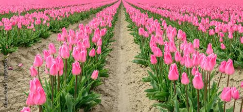 Converging rows of pink flowering tulip bulbs